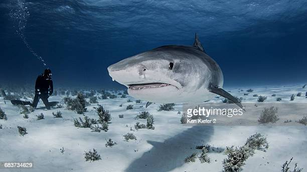 underwater view of diver near tiger shark, nassau, bahamas - nassau stock photos and pictures