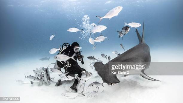 underwater view of diver photographing great hammerhead shark from seabed, alice town, bimini, bahamas - hammerhead shark stock pictures, royalty-free photos & images