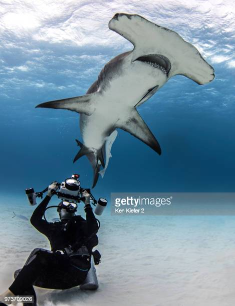 underwater view of diver photographing hammerhead shark, alice town, bimini, bahamas - hammerhead shark stock pictures, royalty-free photos & images