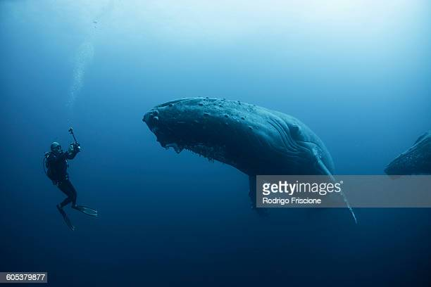 underwater view of diver photographing humpback whale, revillagigedo islands, colima, mexico. 100ft under surface - coraggio foto e immagini stock