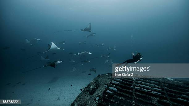 Underwater view of diver swimming among Manta Ray