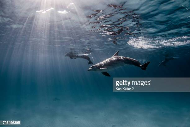 underwater view of dolphins swimming near surface - bimini stock photos and pictures