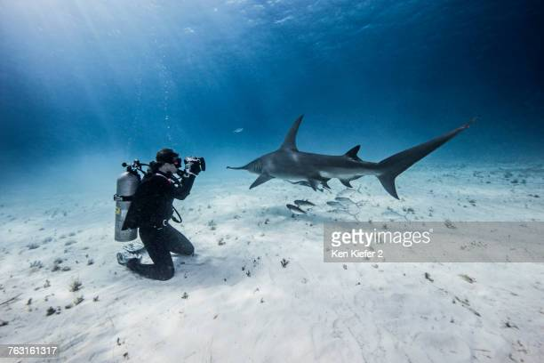 Underwater view of female scuba diver photographing great hammerhead sharks from seabed, Bimini, Bahamas