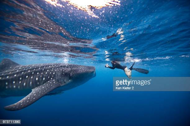 underwater view of female snorkeler photographing whale shark, quintana roo, mexico - isla mujeres stock pictures, royalty-free photos & images
