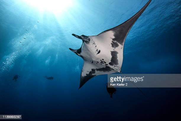 underwater view of giant manta ray near the pinnacle of roca partida, socorro, baja california, mexico - dasiatide foto e immagini stock