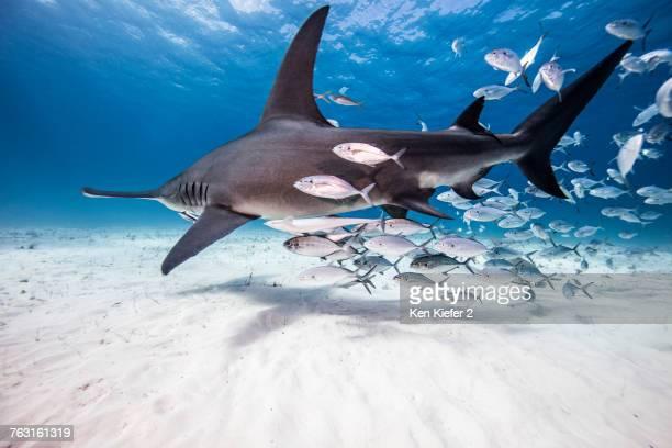 Underwater view of great hammerhead shark and baitfish, Bahamas