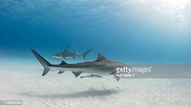 underwater view of great hammerhead shark and tiger shark swimming near seabed, alice town, bimini, bahamas - requin tigre photos et images de collection