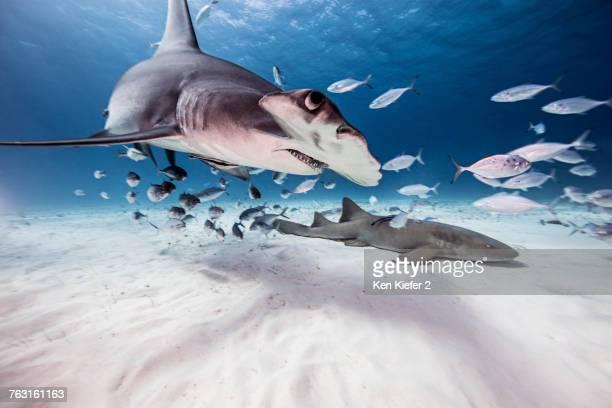 Underwater view of great hammerhead shark, nurse shark and baitfish, Bahamas