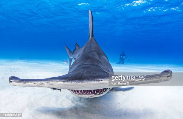 Underwater view of great hammerhead shark swimming over seabed, Alice Town, Bimini, Bahamas