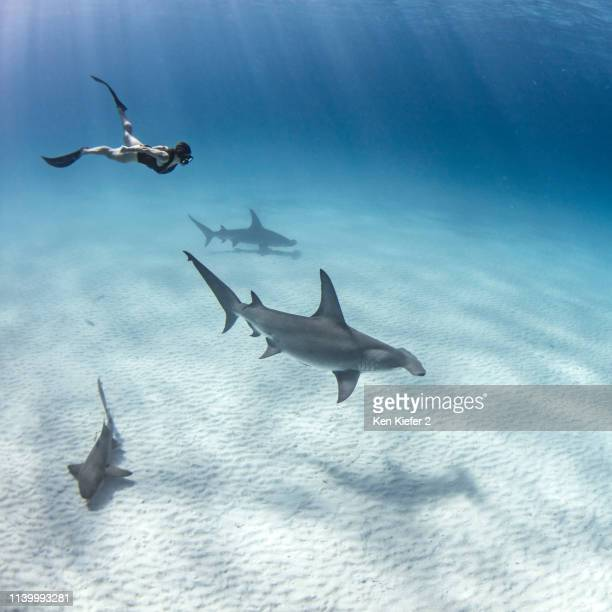 Underwater view of great hammerhead sharks and female scuba diver swimming over seabed, Alice Town, Bimini, Bahamas