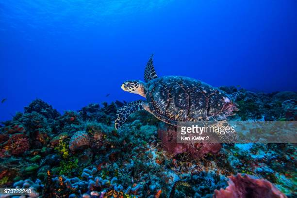 underwater view of hawksbill turtle swimming over seabed - hawksbill turtle stock pictures, royalty-free photos & images