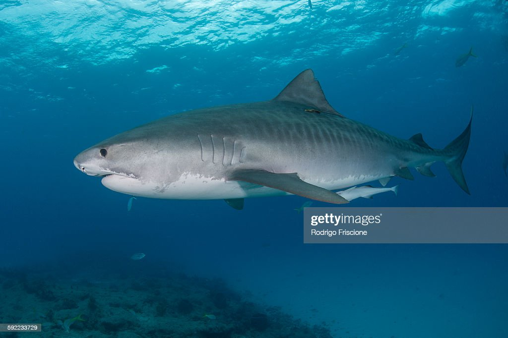 Underwater view of large tiger shark (Galeocerdo cuvier) patrolling reef edge, Northern banks, Bahamas : Stock Photo