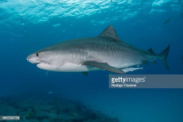 underwater view of large tiger shark (galeocerdo cuvier) patrolling reef edge, northern banks, bahamas - tiger shark stock pictures, royalty-free photos & images