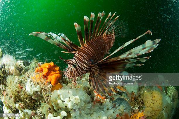 Underwater view of lion fish and coral reef, Isla Holbox, Quintana Roo, Mexico