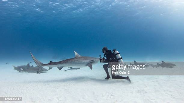 underwater view of male scuba diver with tiger shark and nurse sharks over seabed, alice town, bimini, bahamas - tiger shark stock pictures, royalty-free photos & images