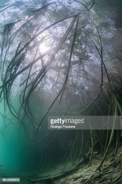 Underwater view of mangrove forest, Sian Kaan biosphere reserve, Quintana Roo, Mexico