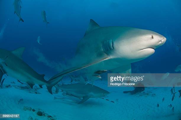 underwater view of pregnant bull shark, playa del carmen, quintana roo, mexico - bull shark stock pictures, royalty-free photos & images