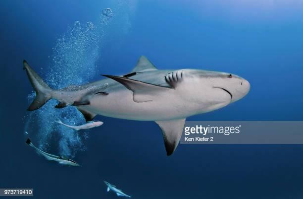 Underwater view of pregnant bull shark, Playa del Carmen, Quintana Roo, Mexico