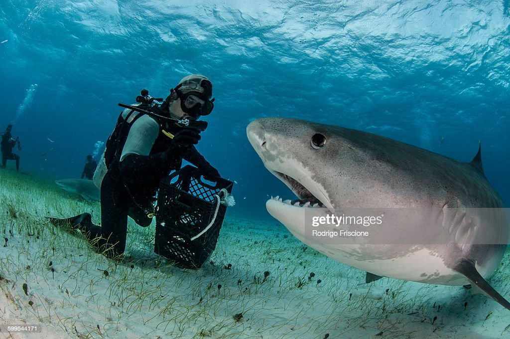 Underwater view of scuba diver on seabed feeding tiger shark, Tiger Beach, Bahamas : Stock Photo
