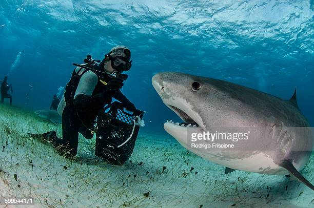 underwater view of scuba diver on seabed feeding tiger shark, tiger beach, bahamas - tiger shark stock pictures, royalty-free photos & images