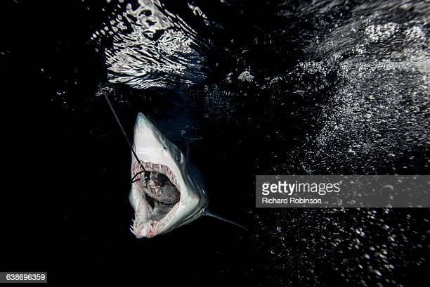 Underwater view of shortfin mako shark (Isurus oxyrinchus) swallowing fish bait in dark sea, West Coast, New Zealand