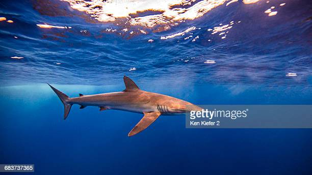 Underwater view of Silky Shark, Socorro, Mexico