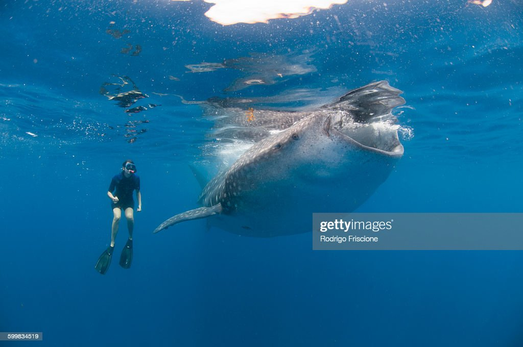 Underwater view of snorkeler watching whale shark feeding, Isla Mujeres, Quintana Roo, Mexico : Stock Photo