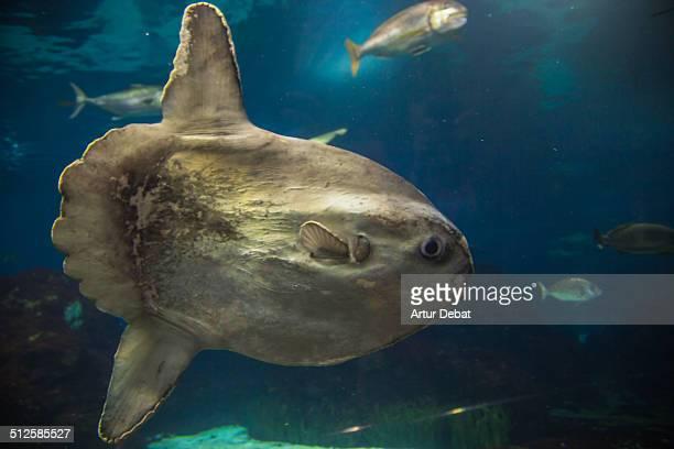 Underwater view of the Barcelona's Aquarium scene with sunfish