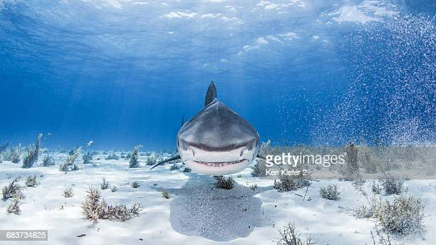 underwater view of tiger shark, nassau, bahamas - tiger shark stock photos and pictures