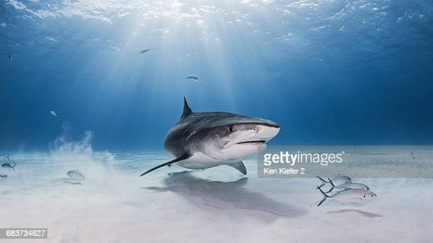 Underwater view of Tiger shark, Nassau, Bahamas