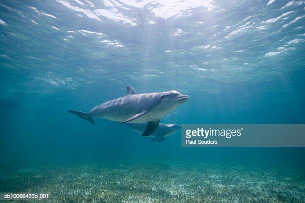 Underwater view of two Bottlenose dolphins (Tursiops truncatus)