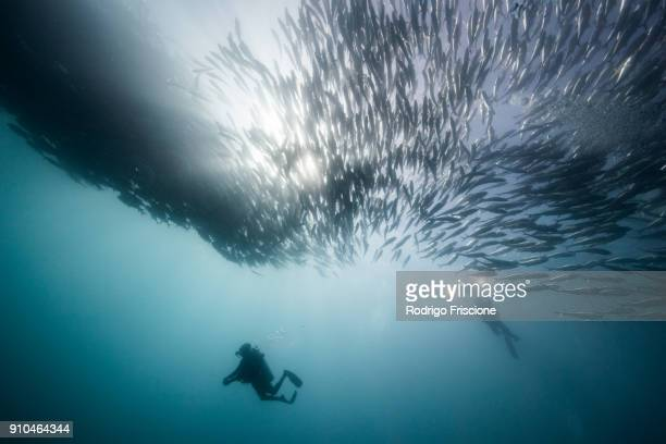 Underwater view of two scuba divers diving below shoaling jack fish in blue sea, Baja California, Mexico