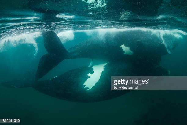 underwater view of two southern right whales mating near the surface, valdez peninsula, patagonia, argentina. - tierpenis stock-fotos und bilder