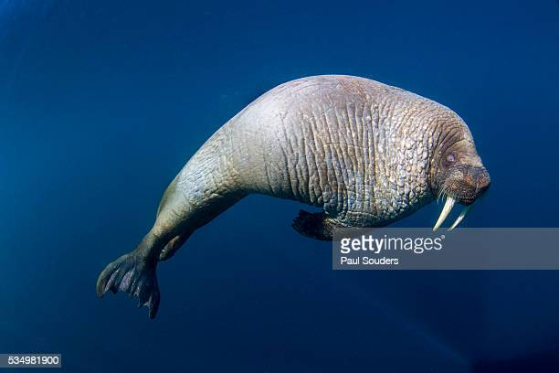 underwater view of walrus, hudson bay, nunavut, canada - walrus stock photos and pictures