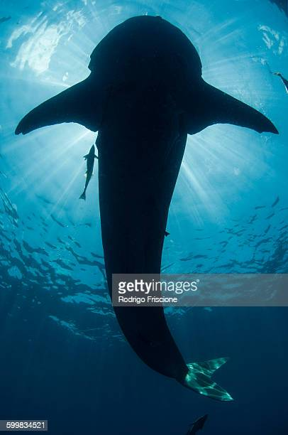 Underwater view of whale shark, Isla Mujeres, Quintana Roo, Mexico