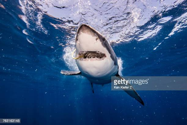 Underwater view of white shark with bait in mouth, Campeche, Mexico