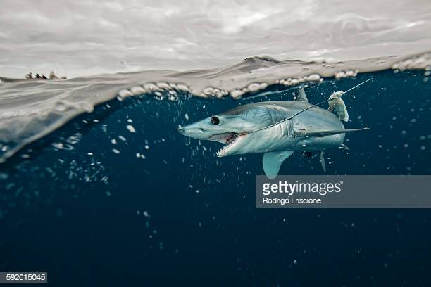 Underwater view of young mako shark struggling with fishing line, Pacific side, Baja California, Mexico