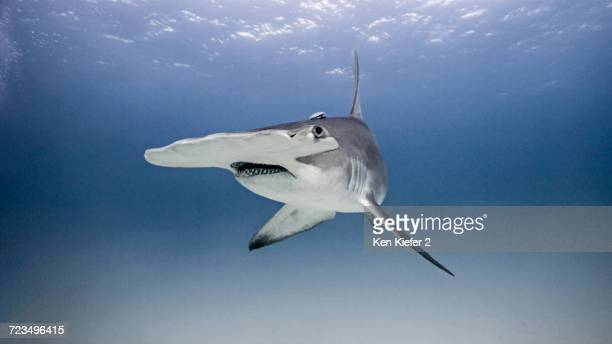 Underwater view portrait of hammerhead shark
