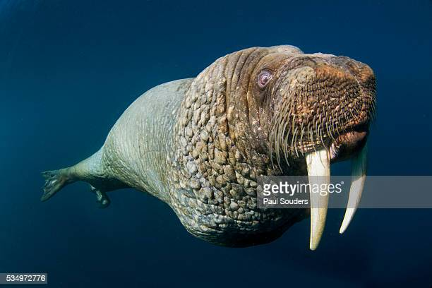 underwater walrus, hudson bay, nunavut, canada - walrus stock pictures, royalty-free photos & images