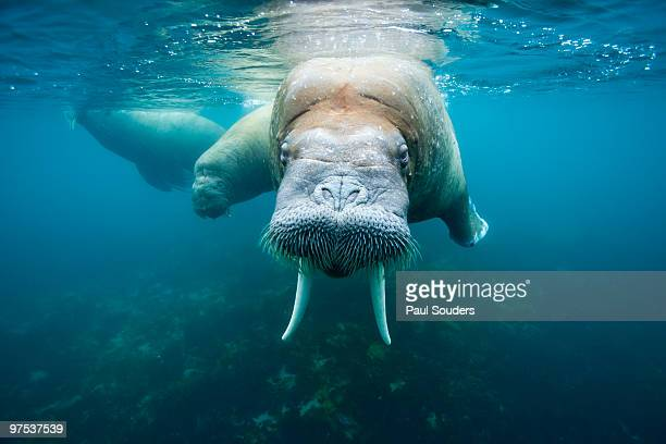 underwater walrus, svalbard - walrus stock photos and pictures