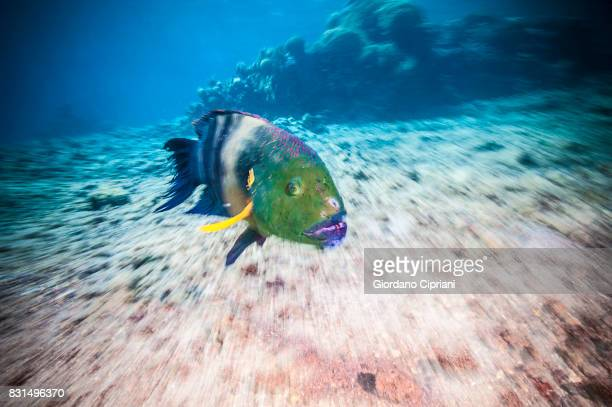 underwater world of the gulf of aqaba or gulf of eilat, northern tip of the red sea, east of the sinai peninsula and west of the arabian mainland. - arabian peninsula stock pictures, royalty-free photos & images