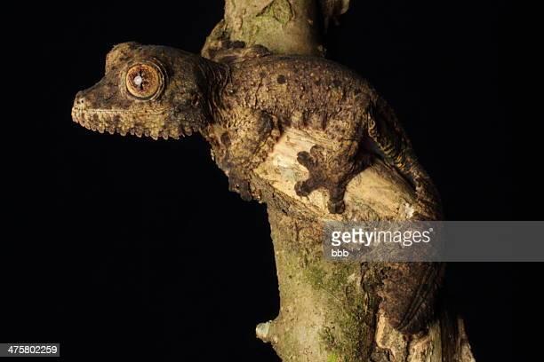 undescribed leaf-tailed gecko - geco de cola plana fotografías e imágenes de stock