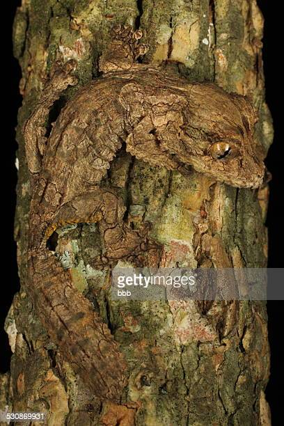 undescribed leaf-tailed gecko - ヒロオヤモリ ストックフォトと画像