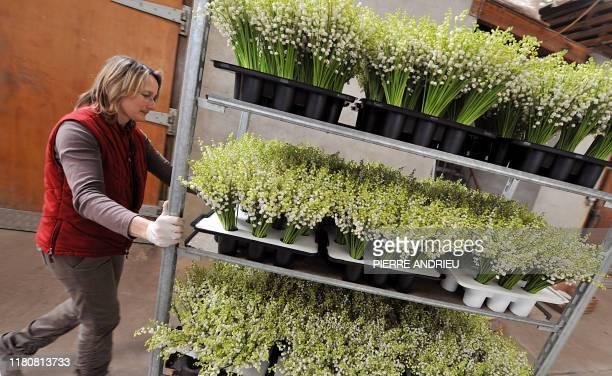 Une employée conditionne des brins de muguet sur le site de production de la SCEA de La Salle le 25 avril 2008 à Martillac L'Aquitaine est la...