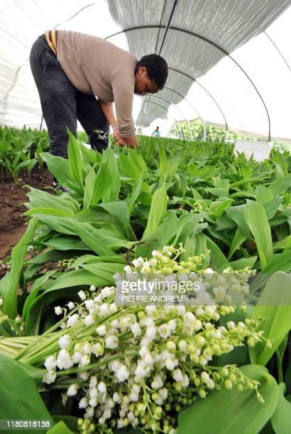 Une femme cueille des brins de muguet sur le site de production de la SCEA de La Salle, le 25 avril 2008 à Martillac. L'Aquitaine est la deuxième...