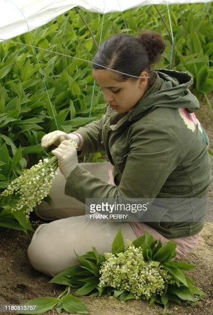 Une jeune femme récolte du muguet dans l'exploitation maraîchère de Louis Douineau, le 24 Avril 2008 à Saint-Julien de Concelles. Le muguet nantais,...