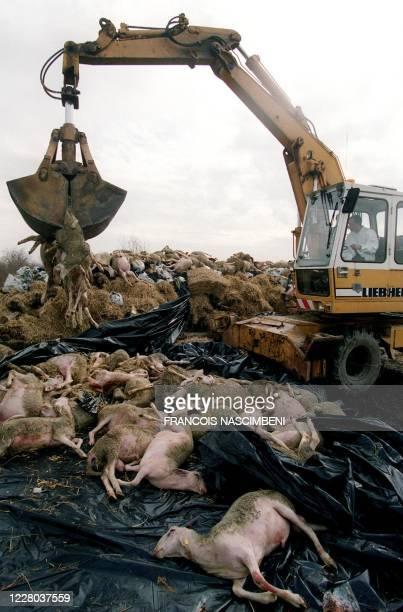 Une pelleteuse dépose des moutons morts pour constituer l'un des quatre bûchers géants de 750 ovins et 46 bovins, le 07 mars 2001 sur l'ancienne base...