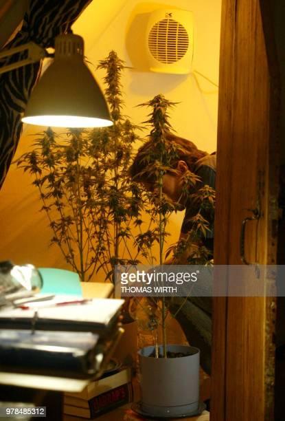 Une personne arrose, le 26 mai 2002, à Strasbourg, des plants de cannabis qu'elle fait croître sous des lampes dans un débarras qui jouxte son...
