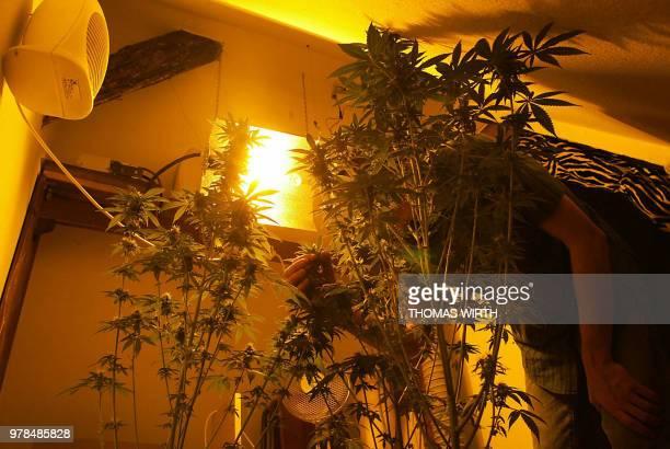 Une personne taille, le 26 mai 2002, à Strasbourg, des plants de cannabis qu'elle fait croître sous des lampes dans un débarras qui jouxte son...