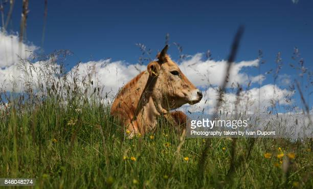 une vache majestueuse - vache stock photos and pictures